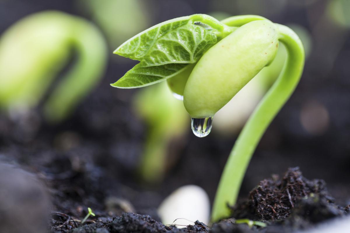 проверяем всхожесть семян