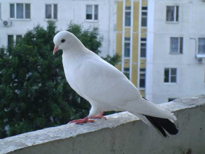 Как избавиться от голубей на балконе: проверенный способ