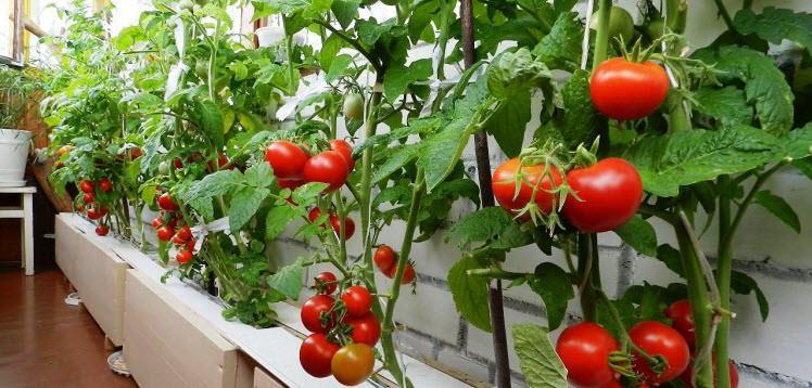 Помидоры на балконе: выбор сорта, подготовка рассады и выращивание