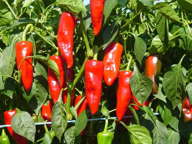 Сладкий перец на балконе: выращивание, правильный подход