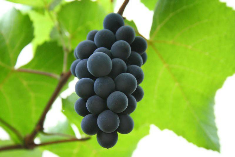 Дикий виноград на балконе: выращиваем правильно